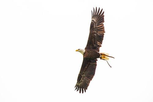 Bald eagle Spirit in flight