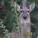 White-tailed Deer buck 01-20180904