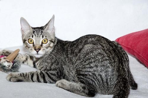 Bonnie, gatita parda monísima y muy lista esterilizada, nacida en Marzo´18, en adopción. Valencia. 43396703484_5909380ded