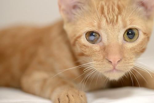 Rohit, gatito naranja cojito súper dulce y bueno, nacido en Abril´18, en adopción. Valencia. RESERVADO. 43748156334_63ea07e5ae
