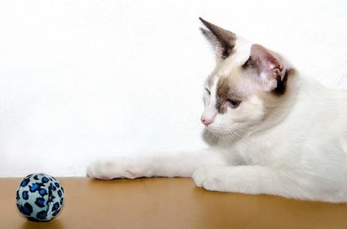 Bora, gatita Siamesa tricolor traviesa y monísima esterilizada, nacida en Marzo´18, en adopción. Valencia. RESERVADA. 30557106378_2280fbb7ed