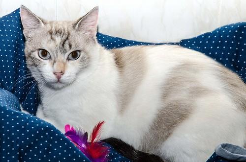 Aruba, gata cruce siamesa dulzona y muy guapa esterilizada, nacida en Agosto´17, en adopción. Valencia.  42306117820_65f779cddd