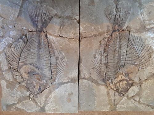 fossile di pesce positivo e negativo