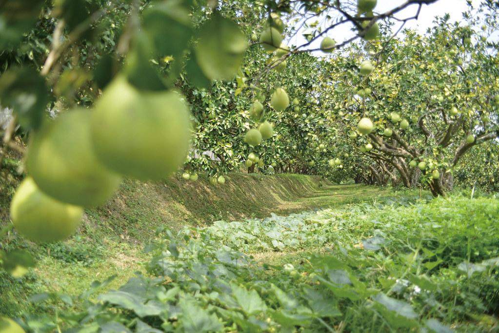 201809-178-綠主張月刊-p08梯田上的蜜香—溫昌海的金黃柚子-06
