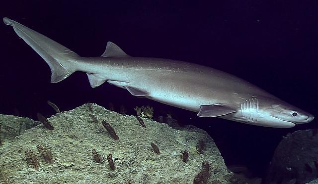 Tiburón de seis agallas