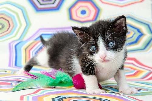 Martín, gatito blanquinegro guapísimo y súper listo nacido en Julio´18, en adopción. Valencia. ADOPTADO. 44219334691_1a09964593