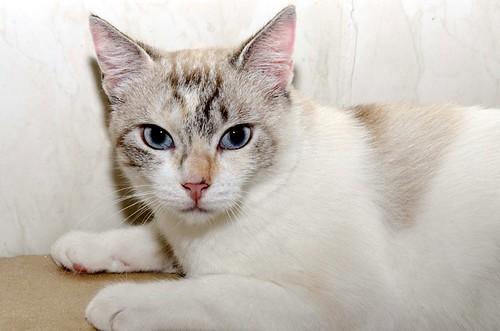 Aruba, gata cruce siamesa dulzona y muy guapa esterilizada, nacida en Agosto´17, en adopción. Valencia.  29177458667_4310bb5c4f