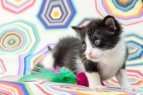 Martín, gatito blanquinegro guapísimo y súper listo nacido en Julio´18, en adopción. Valencia. ADOPTADO. 43313945505_d4fe63ba0d