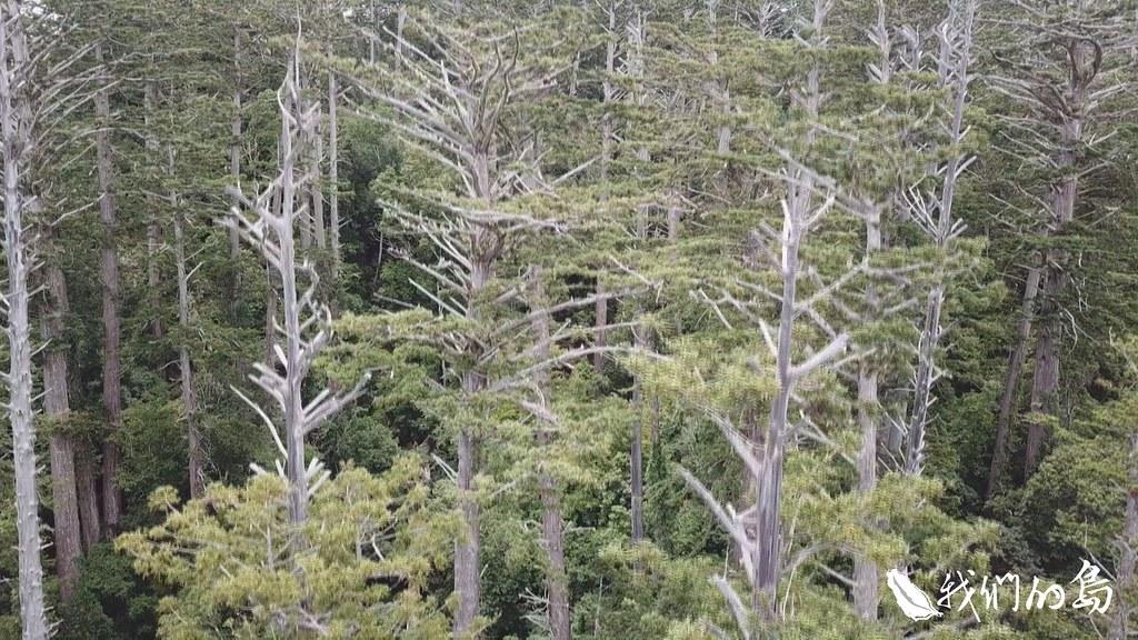 972-1-15香杉經常與檜木混生,目前紀錄,最高可以長到60米,因為材質優良,與紅檜、扁柏等一級木。