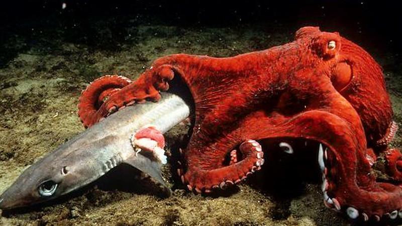 Pulpo gigante comiéndose un tiburón