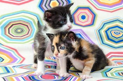 Martín, gatito blanquinegro guapísimo y súper listo nacido en Julio´18, en adopción. Valencia. ADOPTADO. 43502029804_4a48877ea1