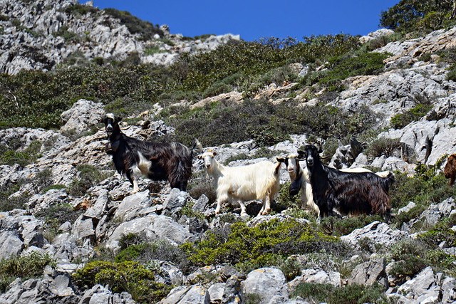 More Goats on a hill, Andros