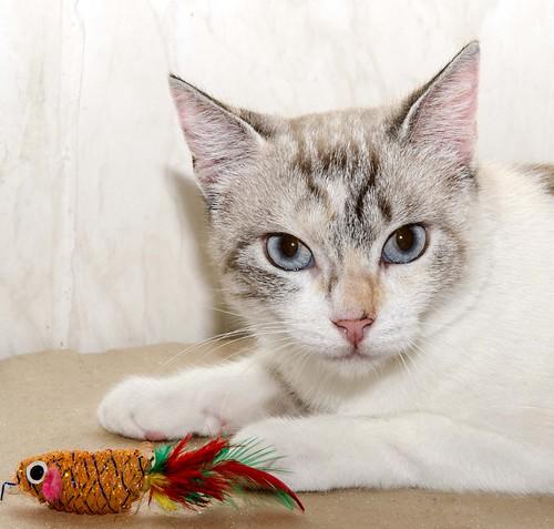 Aruba, gata cruce siamesa dulzona y muy guapa esterilizada, nacida en Agosto´17, en adopción. Valencia.  42306119700_94f7d78415