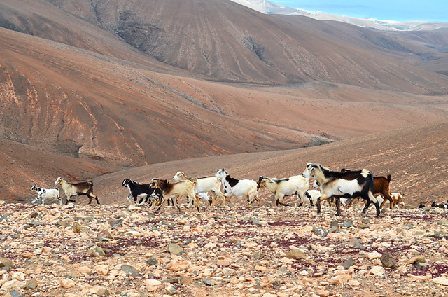 Pretty goats, Fuerteventura