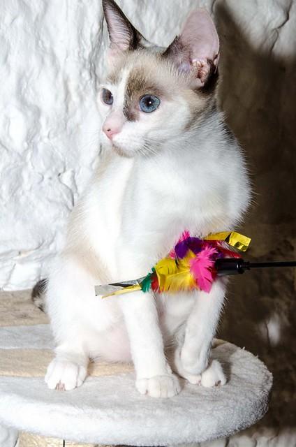 Bora, gatita Siamesa tricolor traviesa y monísima esterilizada, nacida en Marzo´18, en adopción. Valencia. RESERVADA. 43707884894_016ca5e2b9_z