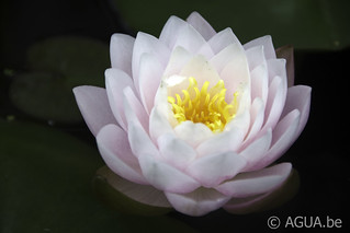 Waterlelie Bangkok Sakura / Nymphaea Bangkok Sakura