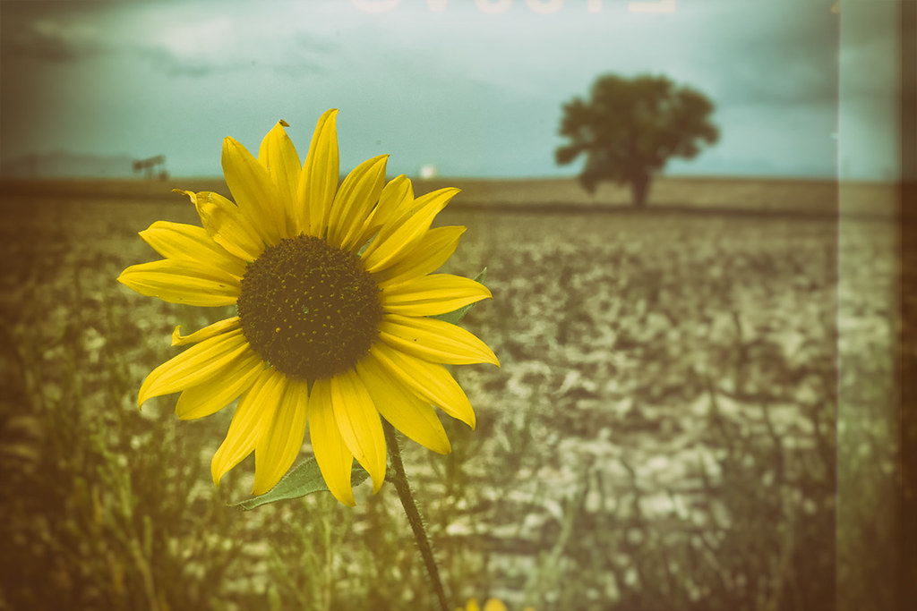 Sunflower: vintage