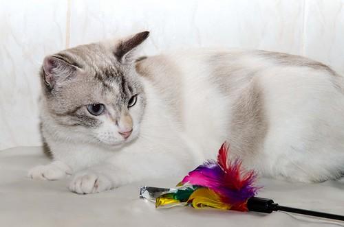 Aruba, gata cruce siamesa dulzona y muy guapa esterilizada, nacida en Agosto´17, en adopción. Valencia.  29177459927_fa7f2ba5c1