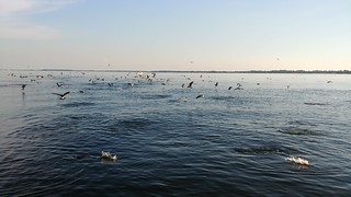 Birds fishing for striped bass