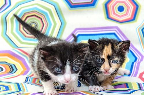 Martín, gatito blanquinegro guapísimo y súper listo nacido en Julio´18, en adopción. Valencia. ADOPTADO. 44219336991_86e08f3240