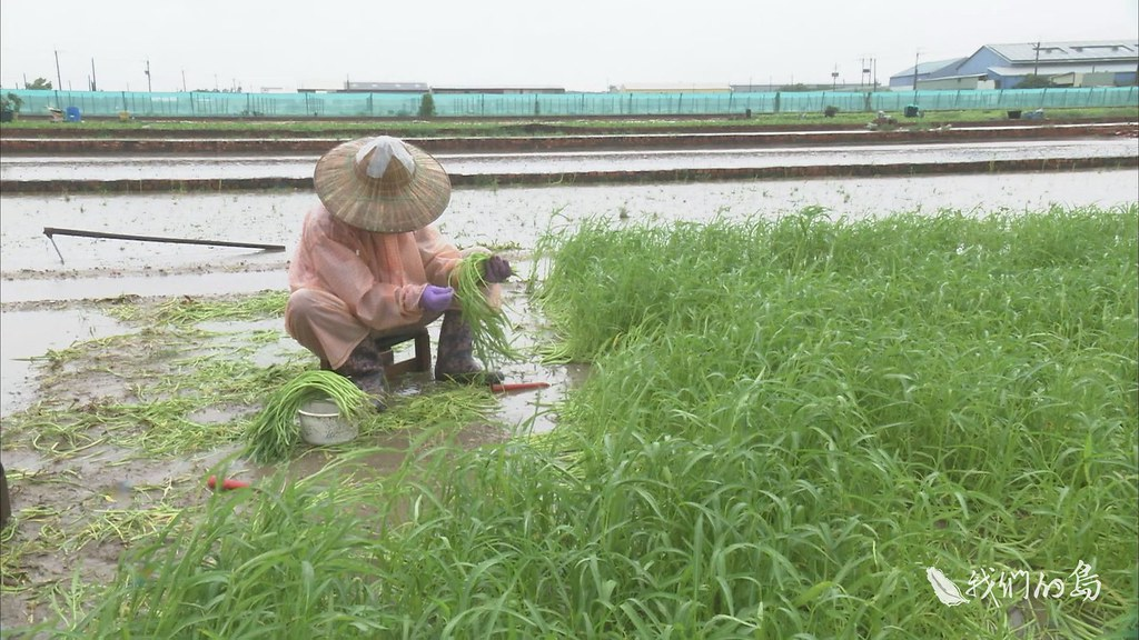 970-3-12s高雄市梓官區是南部重要的蔬菜產區,在大雨時刻,農民冒雨搶收蔬菜。