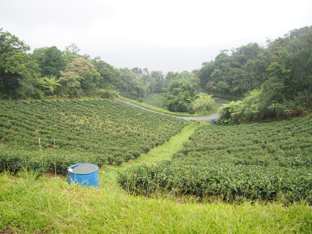 藍鵲茶與茶農林道賢契作的茶園。攝影:陳宣竹