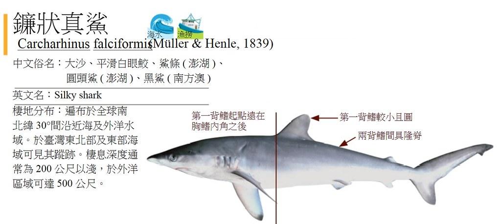鐮狀真鯊。資料來源:漁業署