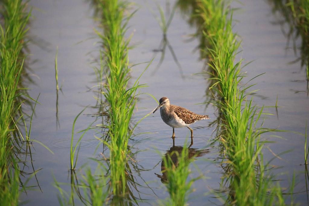 水田提供候鳥重要棲息環境。圖為新南田董米田,冬候鳥陸續報到。羅東林管處提供。