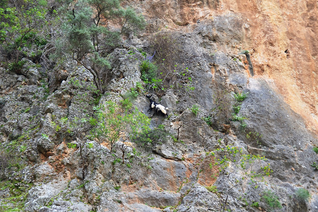 Goat on a cliff, Crete