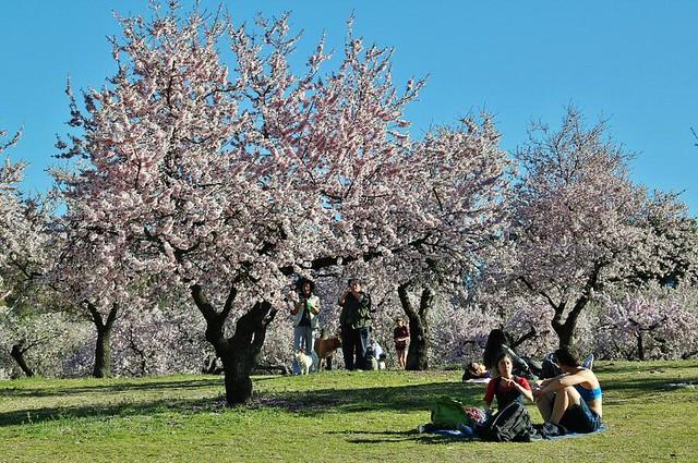 La floración de los almendros en la Quinta de los Molinos (Madrid)