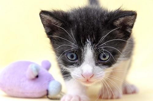 Martín, gatito blanquinegro guapísimo y súper listo nacido en Julio´18, en adopción. Valencia. ADOPTADO. 43502031124_31a5edd728