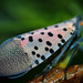 The Wing of a Spotted Lanternfly