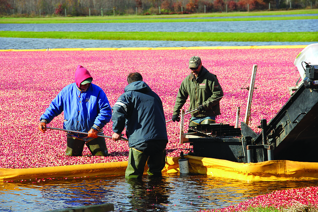 Glacial Lake Cranberries employees harvesting cranberries from a ripe bed