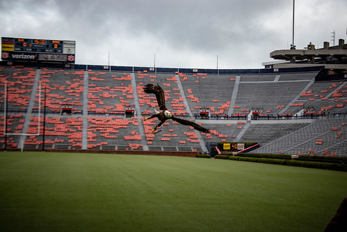 Bald eagle Spirit flies in the stadium