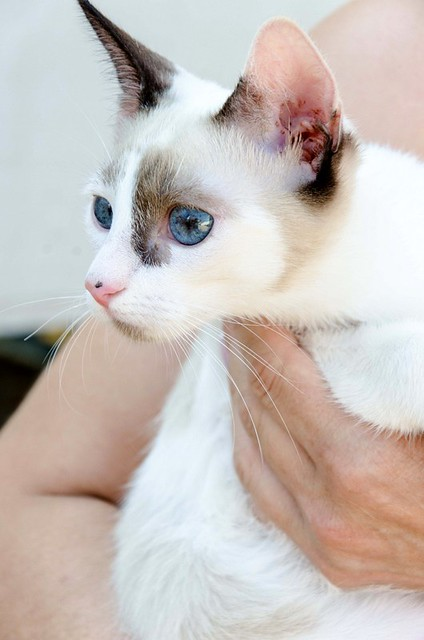 Bora, gatita Siamesa tricolor traviesa y monísima esterilizada, nacida en Marzo´18, en adopción. Valencia. RESERVADA. 43707885554_b6eb1f2f06_z