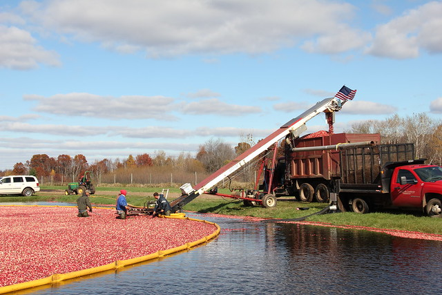 A cranberry bed at Glacial Lake Cranberries before harvest