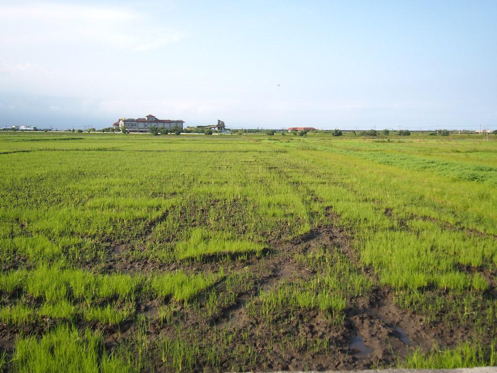 連綿的水稻田,不遠處可見農舍