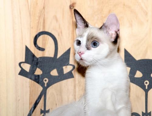 Bora, gatita Siamesa tricolor traviesa y monísima esterilizada, nacida en Marzo´18, en adopción. Valencia. RESERVADA. 43516867955_512b06959c