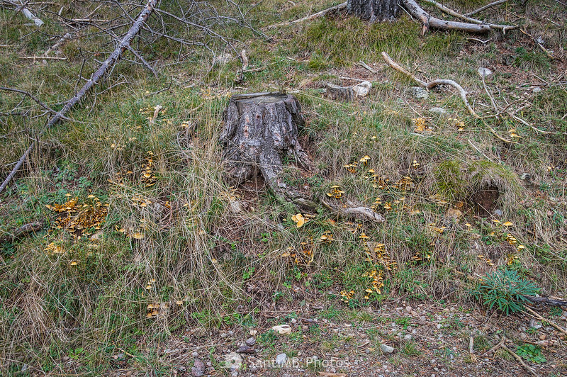 Setas del pino en la raíz descubierta de un pino talado