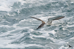 Puffin jouant au dauphin by flamenco31