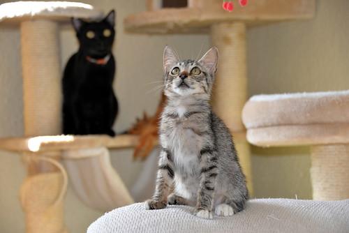 Free, gatita parda guapa y mimosa, muy buena, nacida en Julio´18, en adopción. Valencia. ADOPTADA. 31313843298_58d472b321
