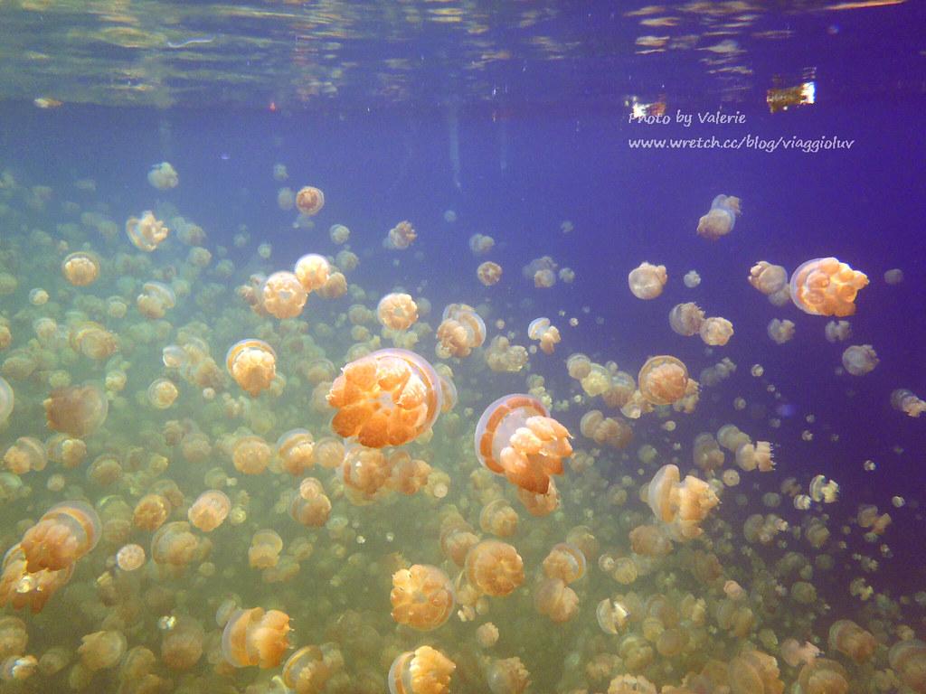 【帛琉 Palau】在史上超多的繽紛水母湖浮潛 好像來到水母星球 Jellyfish lake @薇樂莉 Love Viaggio | 旅行.生活.攝影