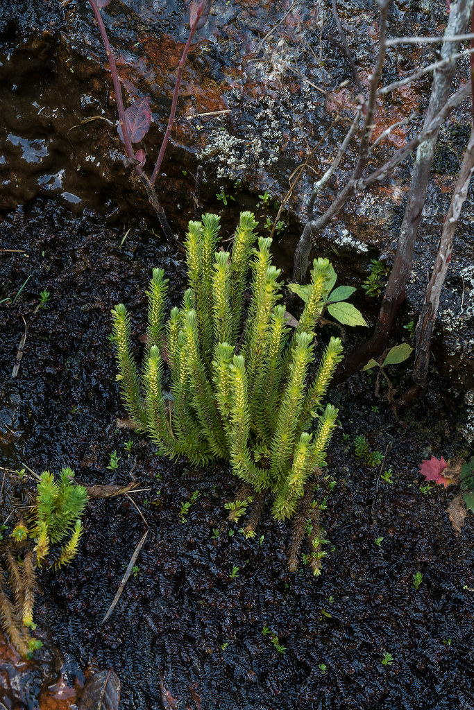 Appalachian firmoss