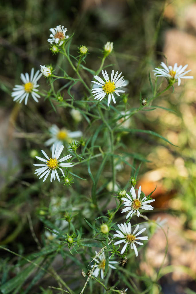 Hairy White Oldfield aster