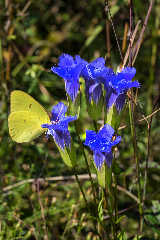 Greater Fringed Gentian and Cloudless Sulphur Butterfly