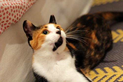 Yaiza, gatita tricolor guapísima y dulce esterilizada, nacida en Abril´18, en adopción. Valencia. ADOPTADA. 45054935842_515e6c80de