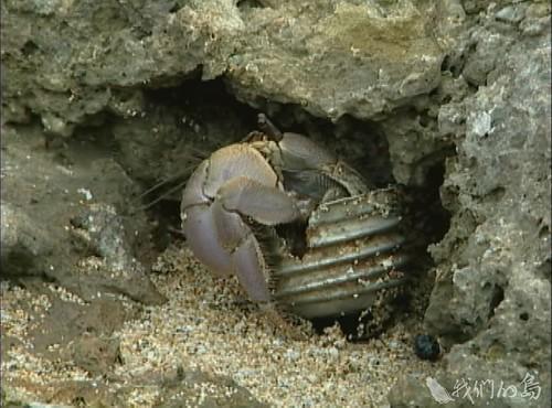 984-2-11早期以塑膠瓶蓋和燈泡當家的寄居蟹。