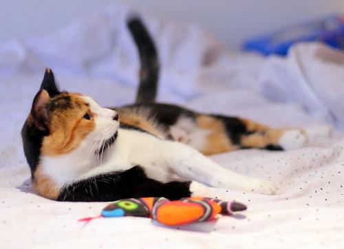 Yaiza, gatita tricolor guapísima y dulce esterilizada, nacida en Abril´18, en adopción. Valencia. ADOPTADA. 30166075527_fbd4491dbd