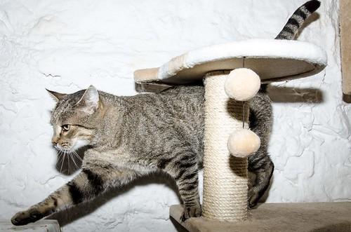 Bandit, gato pardo ojos verdes súper bueno esterilizado, nacido en Marzo´16, en adopción. Valencia. ADOPTADO. 44432679860_cf12001ccd