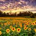 September Sunflower Sunset by Jim Crotty